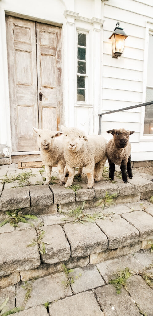 Pet Mini Sheep