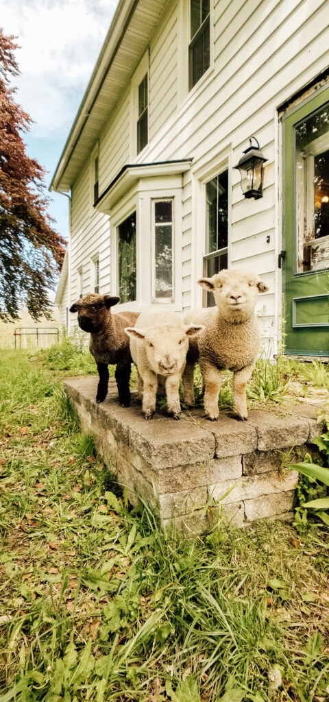 Olde English Southdown Babydoll Mini Sheep on the Farm