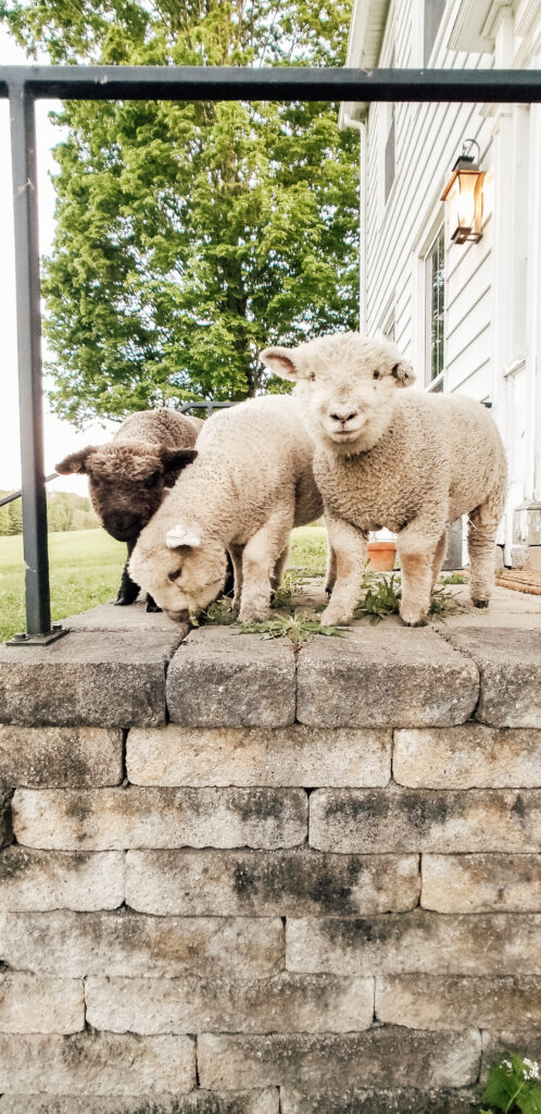 Hobby Farm Mini Sheep