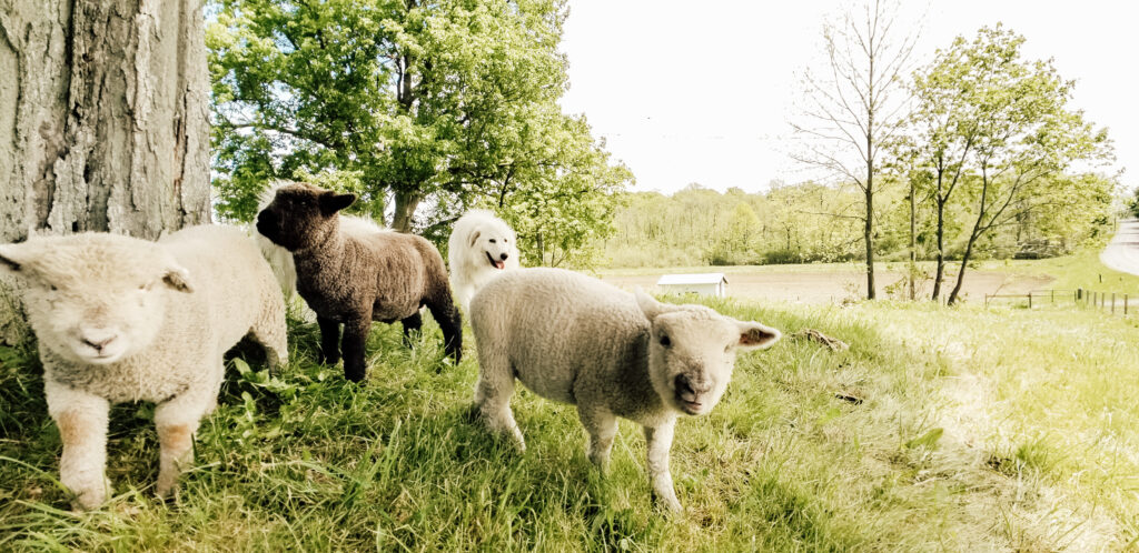 Olde English Southdown Babydoll Mini Sheep and Live Stock Guardian Dogs