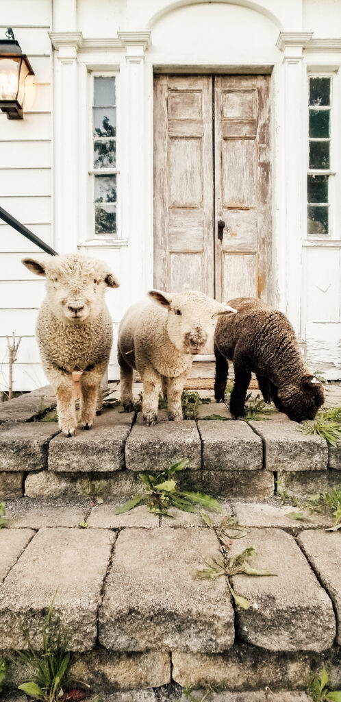 Olde English Southdown Babydoll Mini Sheep Lambs
