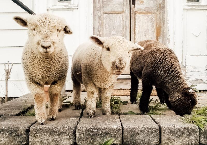 Olde English Southdown Babydoll Mini Sheep Lambs
