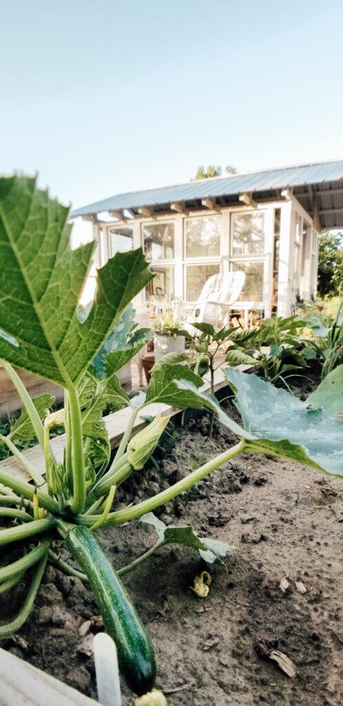 Zuchinni Plant | Diana Marie Home