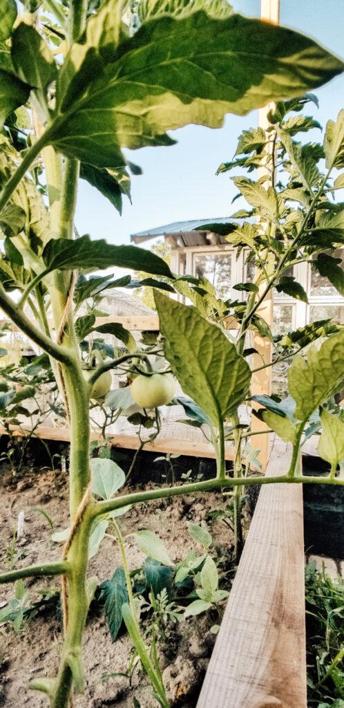 Tomato Plant | Diana Marie Home
