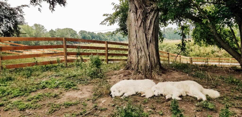 LGD Great Pyranese Farm Dogs