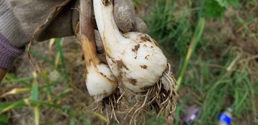 garlic harvest how to pick garlic